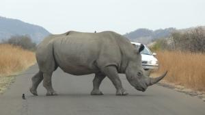 Coisas que só acontecem na Africa do Sul, um rinoceronte cruzando o seu caminho